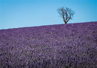 Half- Day Lavender Fields Tour in Valensole