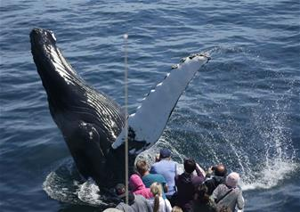 3-Hours New England Aquarium Whale Watching Cruise Tour in Boston